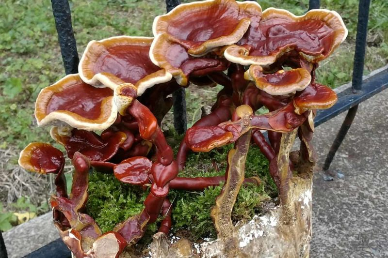 Reishi Mushroom Growing kit