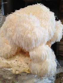 Lions Mane Mushroom growing kit