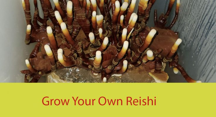 Reishi Grow Kit